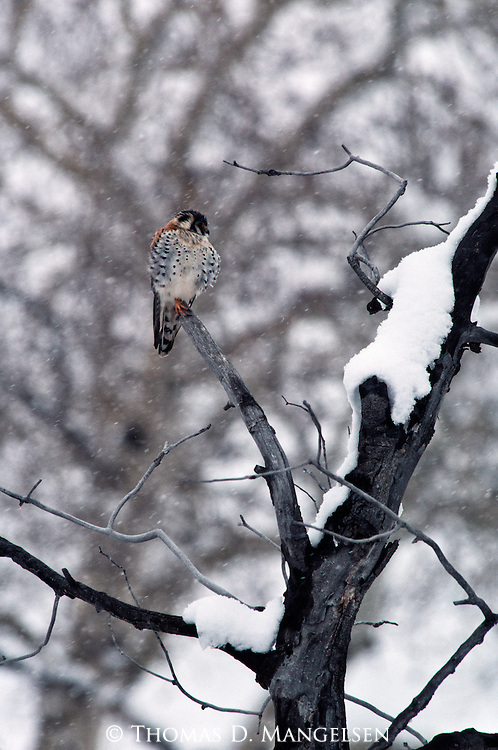 Kestrel perched on a tree branch in the snow.