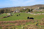 Cattle grazing in fields and farmhouses, Cape Clear Island, County Cork, Ireland, Irish Republic