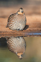 509250074 a wild northern bobwhite female colinus virginianus sits at a small pond with her reflection on beto gutierrez santa clara ranch hidalgo county lower rio grande valley texas united states