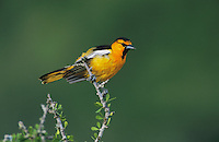 Bullock's Oriole, Icterus bullockii, male, Starr County, Rio Grande Valley, Texas, USA, May 2002