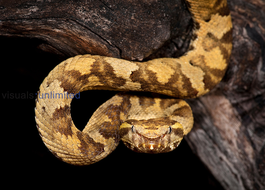 Flat-nosed Pit Viper (Trimeresurus punicus), captive.
