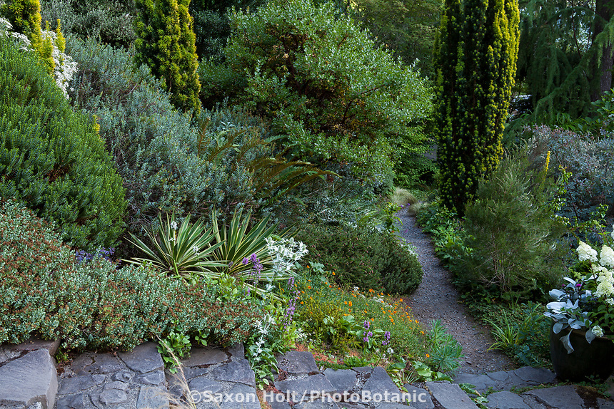 Veronica (Hebe) odora 'New Zealand Gold' (large green shrub), Veronica glaucophyllus hort. (low in foreground), Oleria x haastii with white flowers, Taxus baccata 'Standishii' - gold columnar evergreens with Veronica (Hebe) 'Western Hills' blue-green shrub between Taxus in Elisabeth Miller Botanical Garden, The Dry Bank