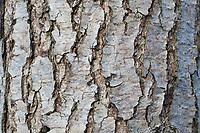 Schwarz-Erle, Schwarzerle, Erle, Rinde, Borke, Stamm, Baumstamm, Alnus glutinosa, Common Alder, Alder, bark, rind, trunk, stem, Aulne glutineux