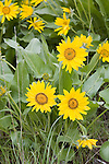 Arrow-leaf balsamroot in Brender Canyon west of Cashmere, WA