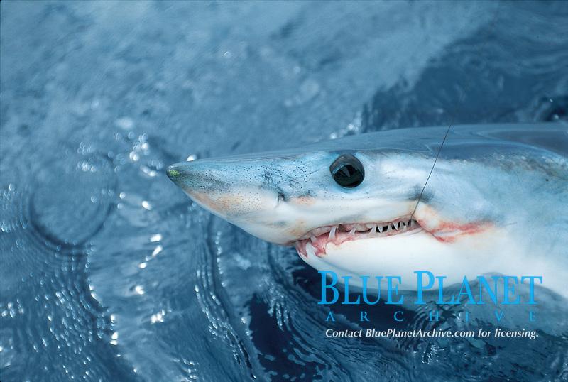 sport fishing, shark fishing, mako shark, Isurus oxyrinchus, Bay of Plenty, New Zealand, Pacific Ocean