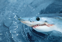 sport fishing, shark fishing, mako shark, Isurus oxyrinchus, Bay of Plenty, New Zealand, Pacific Ocean