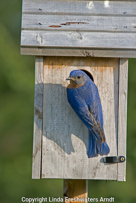 Male eastern bluebird at the nest box