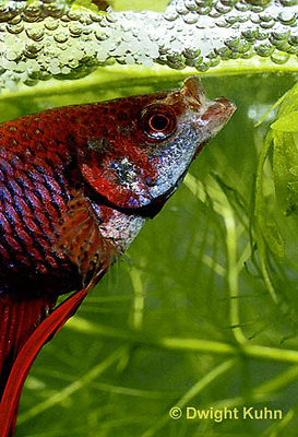 BY03-058z  Siamese Fighting Fish - male making protective bubble nest for eggs - Betta splendens