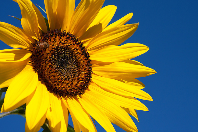 Summer sunflower.