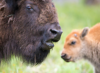A bison cow and calf stick close together while mother is grazing.