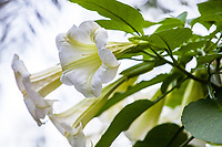 Brugmansia versicolor (Giant White Angel's Trumpet) in flower at San Diego Botanic Garden