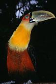 Iguacu, Brazil. Rare toucan (ramphastos vitelinius) near iguacu Falls, Parana State.
