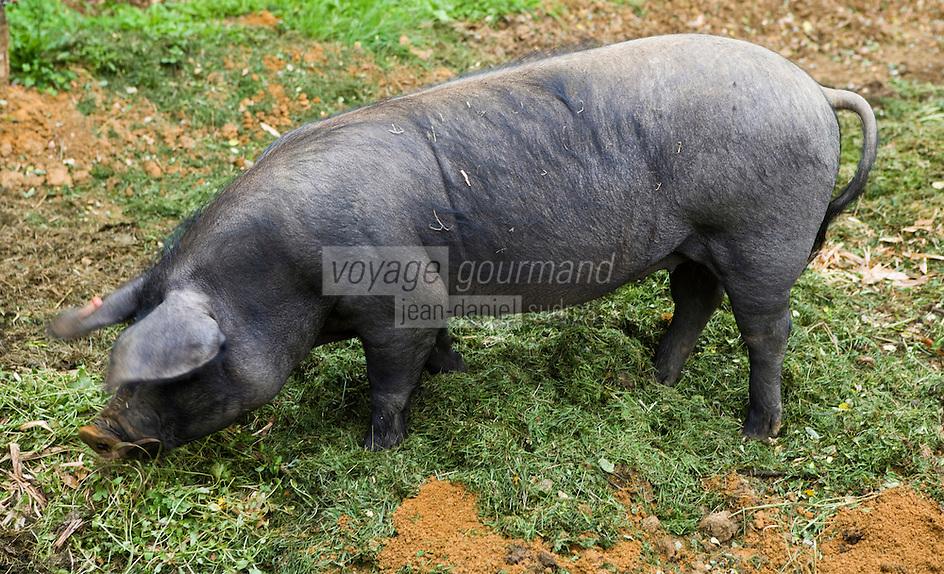 """Europe/France/Aquitaine/40/Landes/ Montfort-en-Chalosse: """"Le Musée de la Chalosse""""- Porc noir de Gascogne"""