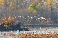 00758-02114 Trumpeter Swans (Cygnus buccinator) landing in wetland Riverlands Migratory Bird Sanctuary St. Charles Co., MO