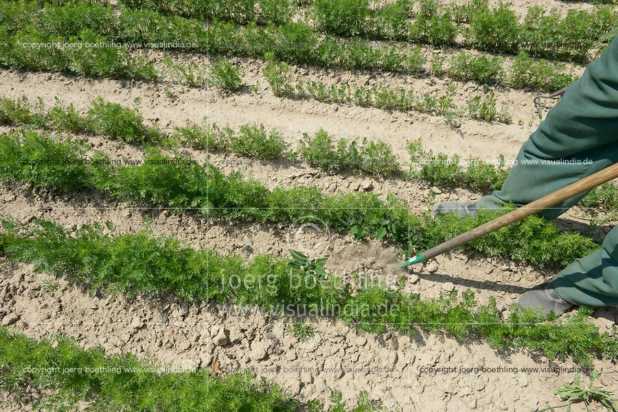 POLAND, Rusiec, herb and spices cultivation and trade / POLEN, Rusiec, Firma Bromex, Vertragsanbau und Handel von Kräutern und Gewuerzen, Vertragsanbau von bei Landwirt