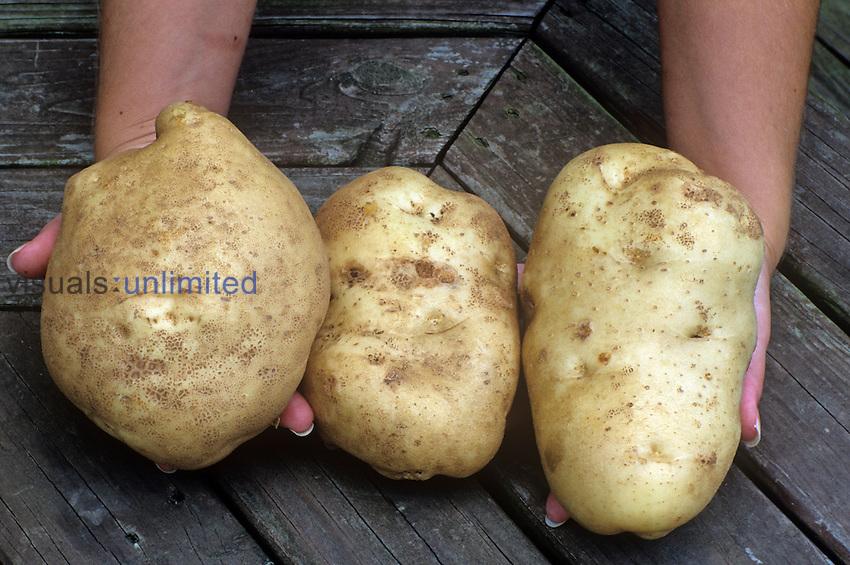 Irish Potatoes (Solanum tuberosum).