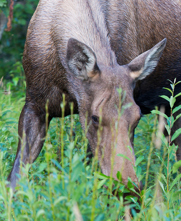A female moose feeds on grasses near the Kasilof River in Alaska.