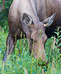 A female moose feeds on grasses near the Kasilof River in Alaska.