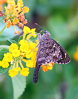 Long-tailed skipper on lantana