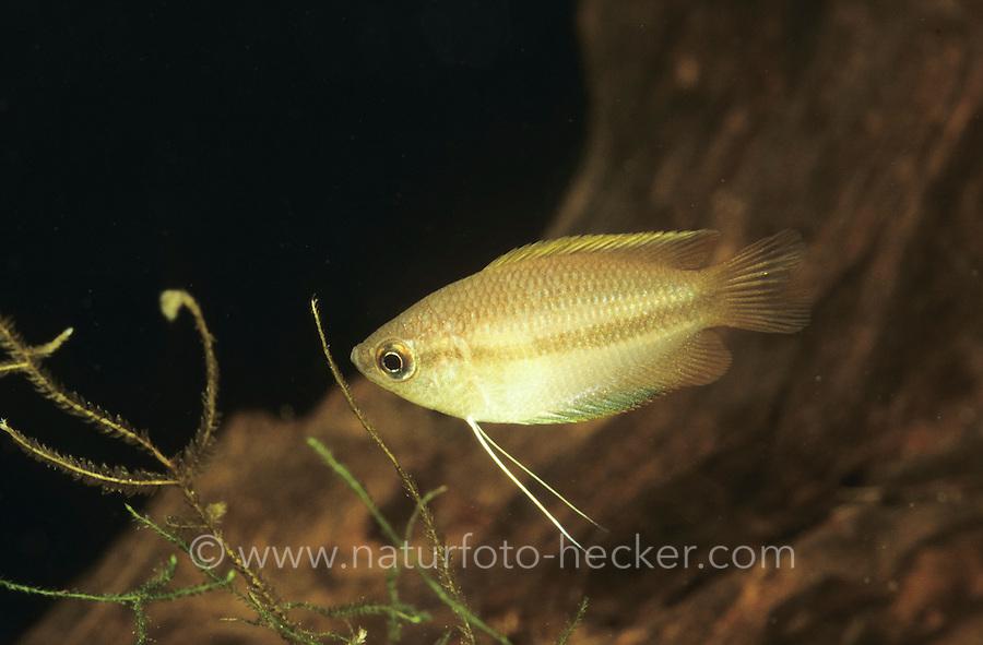 Honiggurami, Honigfadenfisch, Honig-Gurami, Honig-Fadenfisch, Weibchen, Trichogaster chuna, Colisa chuna, honey gourami, female, Le Gourami miel