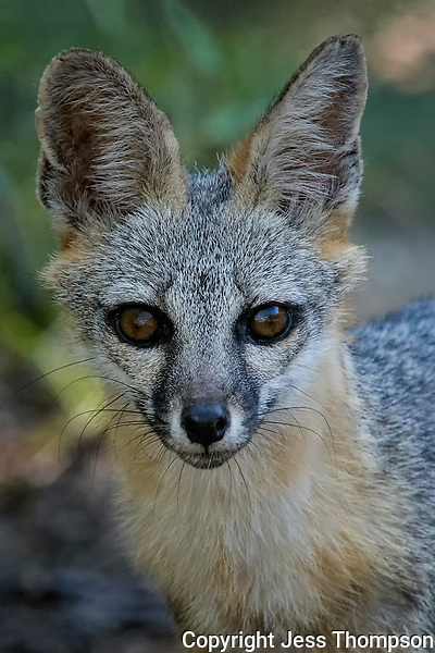 Gray Fox, South Llano River State Park, Texas