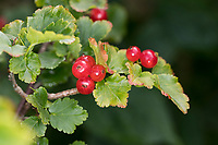 Alpen-Johannisbeere, Alpenjohannisbeere, Johannisbeere, Früchte, Ribes alpinum, Alpine Currant, Mountain Currant, Groseillier des Alpes