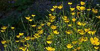 Eschscholzia parishii, Parish's Poppy yellow flowering wildflower; California native plant Anza Borrego State Park in Sonoran Desert