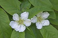 Echte Mispel, Mespilus germanica, Medlar, Néflier commun