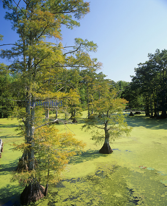 Bald Cypress trees with their buttress roots for support ,Taxodium distichum, growing in in a Duckweed-covered ,Lemna, eutrophic swamp lake, Reelfoot National Wildlife Refuge, Tennessee, USA.