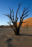 Dead camelthorn trees at Dead Vlei, one of the most striking valleys at Sossusvlei in Namibia, stand out strongly against the famous red dunes. Some of the tree skeletons at Dead Vlei are over 500 years old.