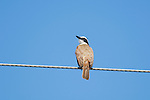 Great kiskadee, Pitangus sulphuratus, on a utility wire in Orotina, Costa Rica