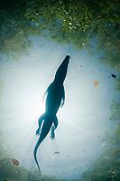 Morelet's crocodile, Central American crocodile, Mexican crocodile, or Belize, Caribbean, Atlantic crocodile, Crocodylus moreletii, swims across surface of cenote, or freshwater spring, near Tulum, Yucatan Peninsula, Mexico, Caribbean, Atlantic