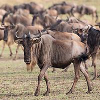 Wildebeast Portrait  Kenya 2015