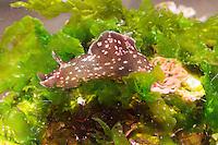 Punktierter Seehase, Gemeiner Seehase, mit Laich, Laichschnur, Aplysia punctata, European sea hare, Sea hare, sea slug, marine Nacktschnecke