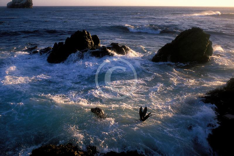California, San Luis Obispo County, San Simeon coast, harbor seals