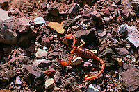 Scorpion Exoskeleton after Molting, Death Valley National Park, California, CA, USA
