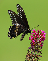 Male black swallowtail at butterfly bush