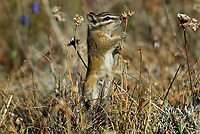 Yellow-pine Chipmunk (Tamias amoenus) feeding on seeds in subalpine meadow.  Pacific Northwest.  Fall.