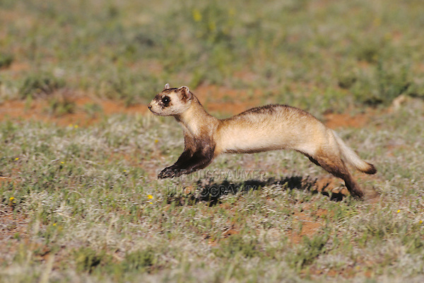 Black-footed Ferret (Mustela nigripes), adult running, Arizona, USA