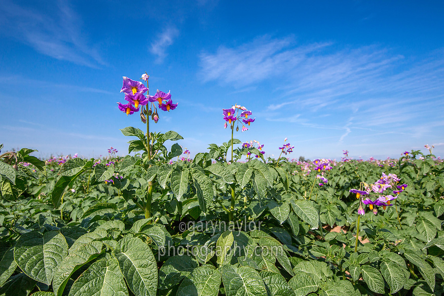 Maris Piper potatoes in flower - Lincolnshire, July