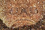 Southern stargazer,Astroscopus y- grraecum, Tulamben, Bali, Indonesia