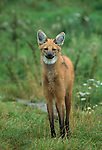 A watchful Maned Wolf, South America.