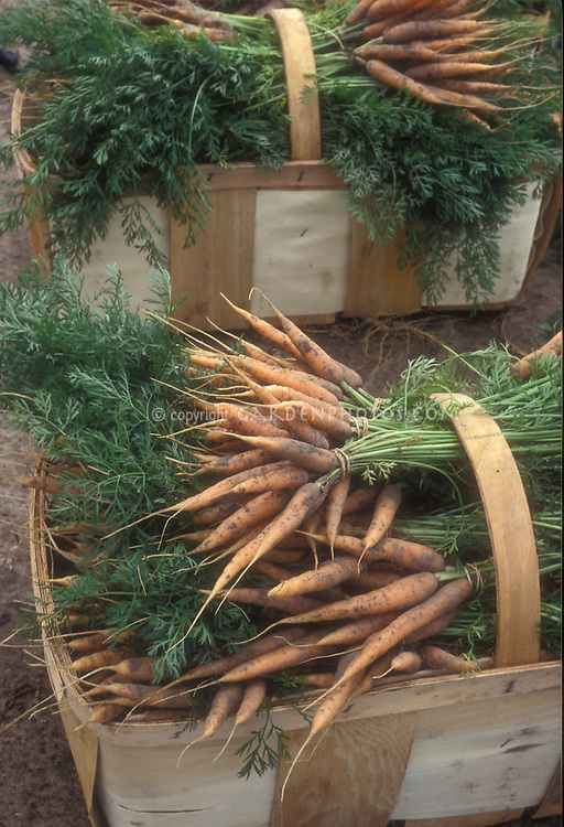 Carrot harvest fresh from garden, in trug basket with soil, tops, leaves