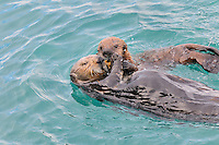 Alaskan or Northern Sea Otter (Enhydra lutris) mother sharing food with pup.
