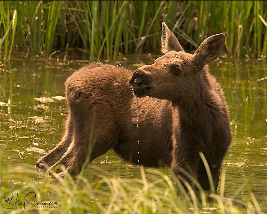 This adorable moose (Alces alces) calf was a twin but the two of them never seemed to get close enough to form a good image. Moose love to browse aquatic plants and spend a good part of their lives standing in water like this. East Gate, Yellowstone.