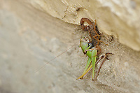 Striped Bark Scorpion (Centruroides vittatus), adult with grasshopper prey, Hill Country, Central Texas, USA