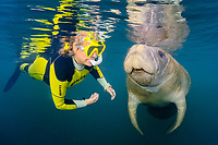 Florida manatee, Trichechus manatus latirostris, calf, playing with woman snorkeler, a subspecies of West Indian manatee, Trichechus manatus, Homosassa Springs Wildlife State Park, Homosassa Springs, Florida, USA, MR