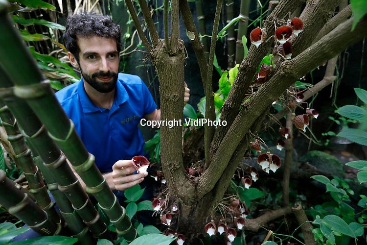 """Foto: VidiPhoto<br /> <br /> ARNHEM - Het overdekte oerwoud Burgers' Bush in Arnhem is in relatief korte tijd veranderd van een hal met jonge planten, in een complex en verfijnd ecosysteem, waarin planten en dieren afhankelijk van elkaar zijn. """"In alles moesten we pionieren"""", vertelt plantenverzorger Tom van den Hurk (foto). Sinds enkele jaren is hij verantwoordelijk voor de botanische verzameling van de Bush. Wetenschappers en studenten bezoeken regelmatig de Bush en ontdekken daar nog niet eerder beschreven planten en paddestoelen."""