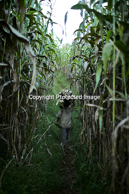 BONGA, ETHIOPIA: A boy walks through a maize field after picking firewood in the forest on December 6, 2012 outside Bonga, Ethiopia. This Kaffa region is known for its coffee production, wild coffee grown in high altitudes. This region is the original home of the coffee plant, coffee Arabica which grows in the forest of the highlands. The red berries are the main source of income in the area. Children and cattle also drink coffee. (Photo by: Per-Anders Pettersson)