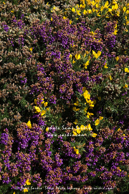 Meadow of purple and yellow heather and brooms, Brittany, France.